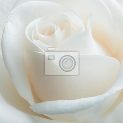 Obraz Biała róża na białym tle. Selektywne fokus.