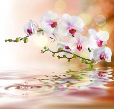 Obraz białe orchidee na wodzie z kropli
