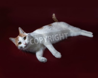 Obraz Biały I Czerwony Kot Leży Na Bordowym Tle Na Wymiar Czerwony