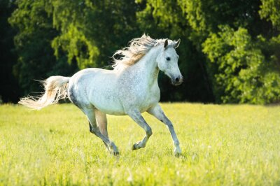 Obraz Biały koń arabski działa galop w świetle słońca