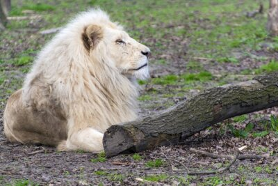 Obraz Biały Lew (Panthera leo krugeri)