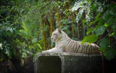 Obraz Biały Tygrys bengalski