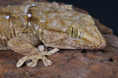 Obraz Biały zauważył gekon / Tarentola annularis