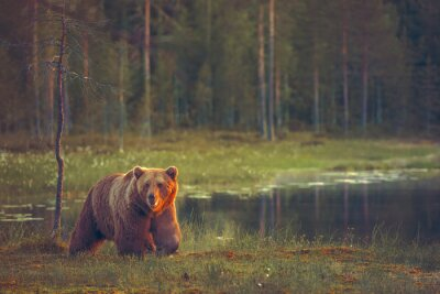 Obraz Big male bear walking in the bog at sunset