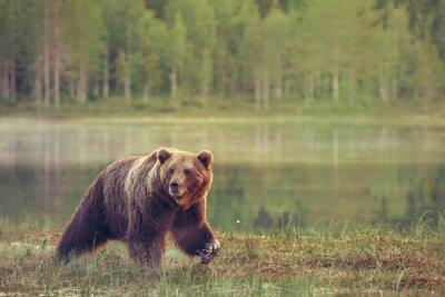 Obraz Big mężczyzna niedźwiedź spaceru w bagnie na zachodzie słońca
