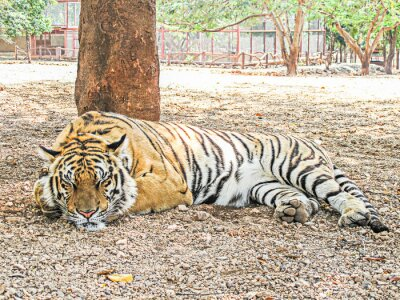 Obraz Big spania Tygrys bengalski