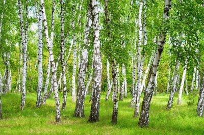 Obraz birch grove