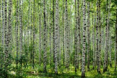 Obraz Birch Grove w lecie