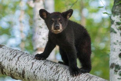 Obraz Black Bear Cub (Ursus americanus) wychodzi z Oddziału