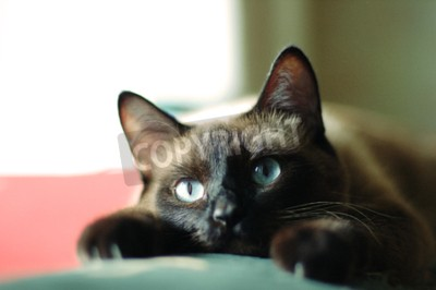 Obraz Bliska Portret Kot Syjamski Z Niebieskimi Oczami I łapach Na