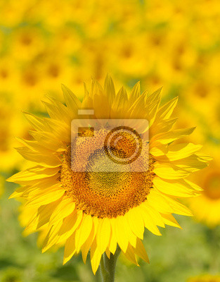 Bliska słonecznika, płytkie fokus