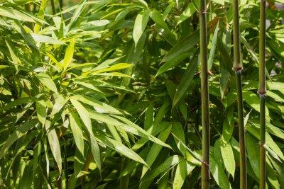 Obraz bliska świeżych liści bambusa i łodygi
