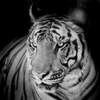 Obraz Bliska tygrysa