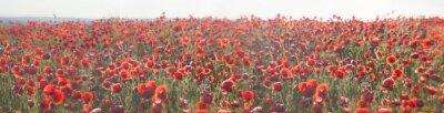 Obraz bloom wild poppies