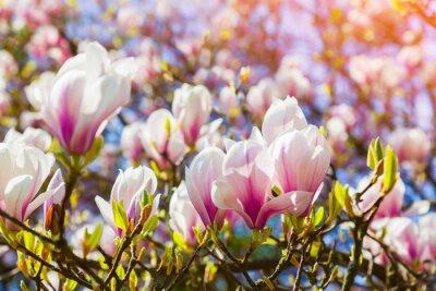Obraz Blooming magnolia flowers in the Keukenhof park