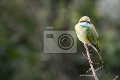 Blue-tailed Żołna. Park Narodowy Uda Walawe, Sri Lanka. Azja.