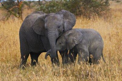 Obraz Bracia Elephant