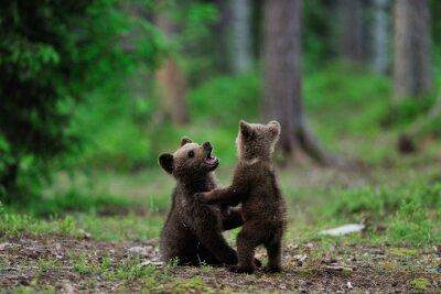 Obraz Brązowe niedźwiadki bawiące się w lesie