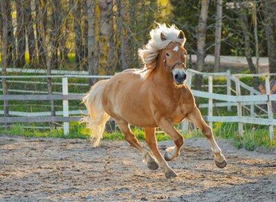 Obraz Brązowy galop konia na pole jazdy