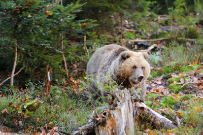 Obraz Brązowy niedźwiedź w lesie