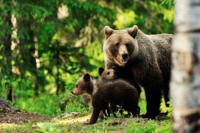 Obraz Brązowy niedźwiedź w lesie rodzina