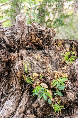 Brązowy pnia złamanego drzewa z korzeniami i roślin w polu