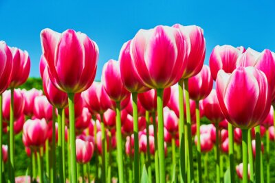 Obraz Bright pink tulip flowers blooming in a tulip field against background of blue sky. Nature background