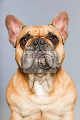 Obraz Brown Buldog Francuski Funny Dog Comic Charakter Na Wymiar