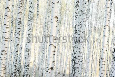 Obraz brzozowy las w słońcu rano