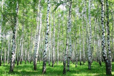 Obraz Brzozowy las wiosna