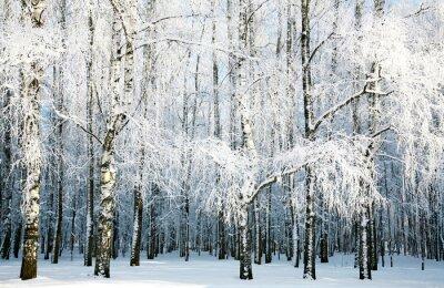 Obraz Brzozowy las z krytymi gałęziach śniegu