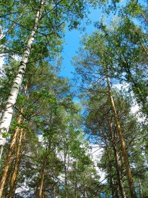 Obraz Brzozy i sosny szczyty z błękitnego nieba