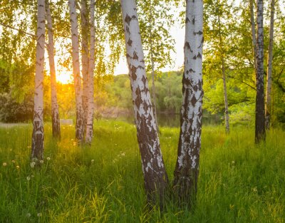 Obraz brzozy w lesie latem