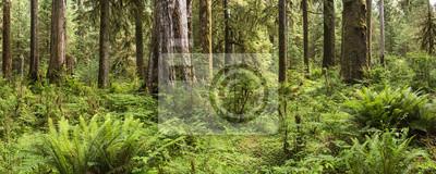 Bujne paprocie i drzew w Hoh Rainforest