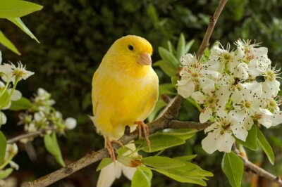 Obraz Canary on a branch of a flowering pear.
