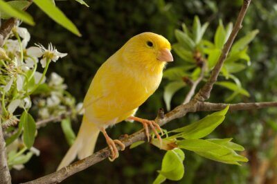 Obraz Canary on a branch pear.