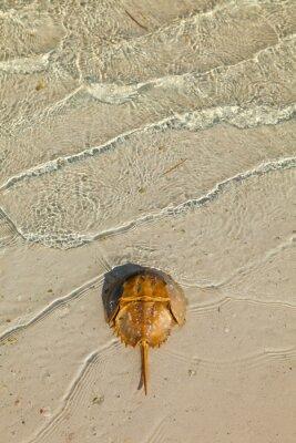 CANGREJO HERRADURA O BAYONETA - ATLANTIC HORSESHOE CRAB (Limulus polyphemus), Isla Pasión, Isla de Holbox,  Estado de Quntana Roo, Península de Yucatán, México