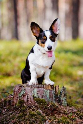 Obraz Cardigan Welsh Corgi psa na zewnątrz
