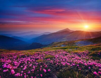 Obraz Charming pink flower rhododendrons at magical sunset. Location Carpathian mountain, Ukraine, Europe. Beautiful nature landscape. Scenic image of idyllic summer wallpaper. Discover the beauty of earth.