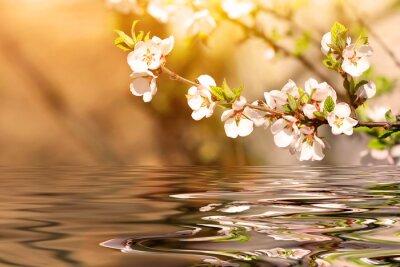 Obraz cherry gałęzi drzewa nad wodą