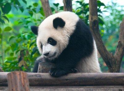 Obraz Chińska panda bear