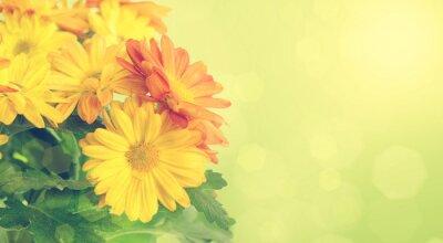 Obraz Chryzantemy tle kwiatów