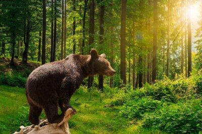 Obraz ciekawy mały niedźwiedź w lesie