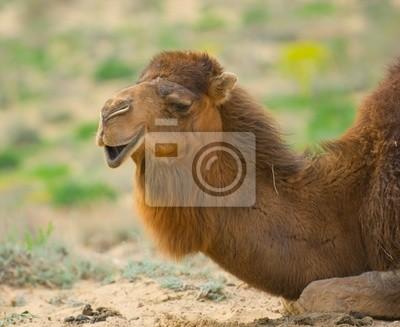 Close-up obraz wielbłąda