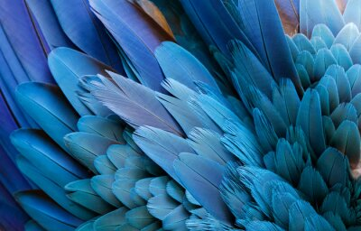 Obraz Close up of beautiful bird feathers of Blue and Yellow Macaw, exotic natural textured background in different blue colors and yellow, Lagoa das Araras, Mato Grosso, Brazil