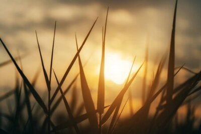 Obraz Close up silhouette of grass leaves with sunlight in vintage color.