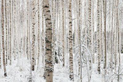 Obraz Close-up z drewna brzozy w zimie w Finlandii