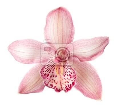 Close-up z pięknym różowym kwiatem orchidea na białym tle.