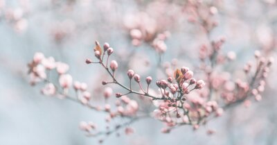 Obraz Closeup of spring pastel blooming flower in orchard. Macro cherry blossom tree branch.