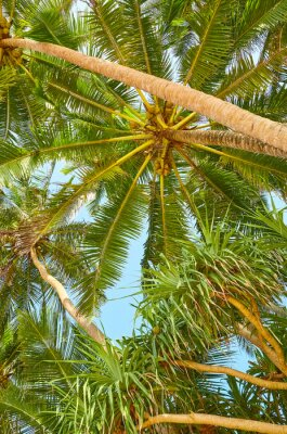 Coconut palm trees against the blue sky.